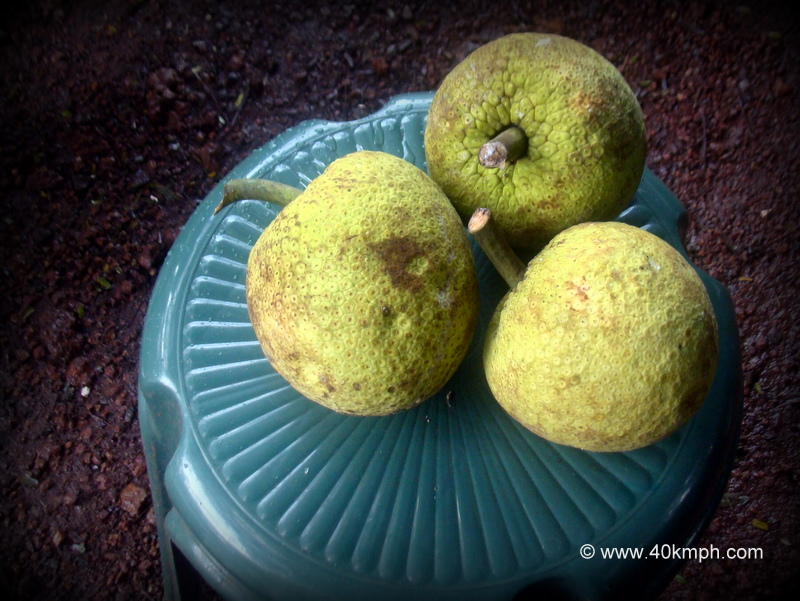 Breadfruit - Fruit of Goa