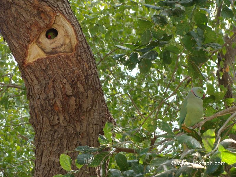 Indian-ringneck Parakeet