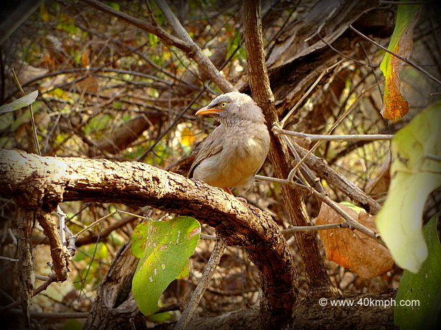 Jungle Babbler - Adult