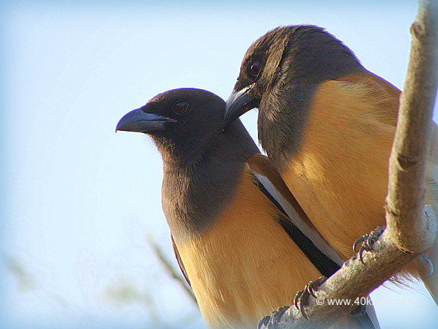 Pair of Rufous Treepie