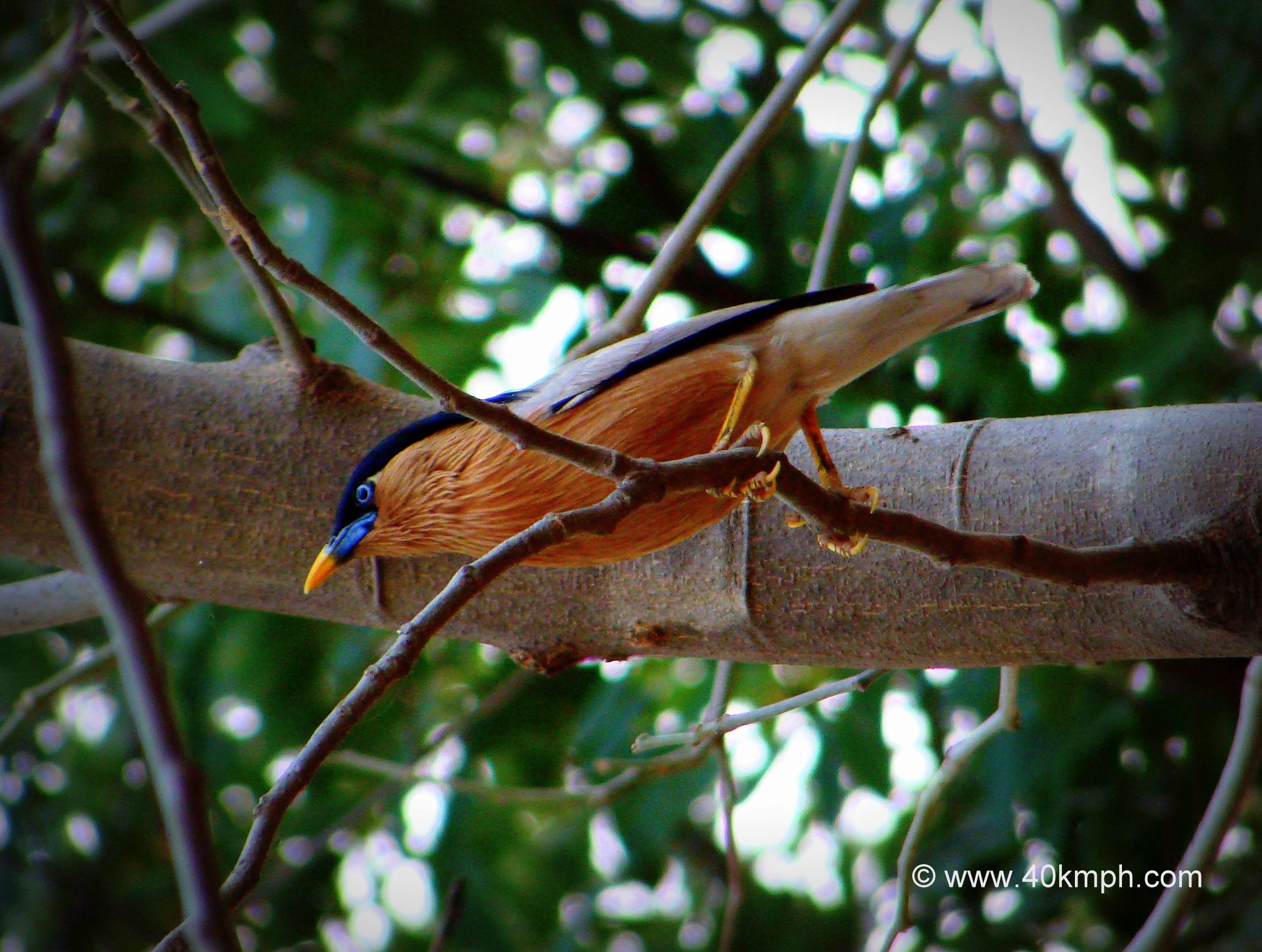 Brahminy Starling also known as Brahminy Myna
