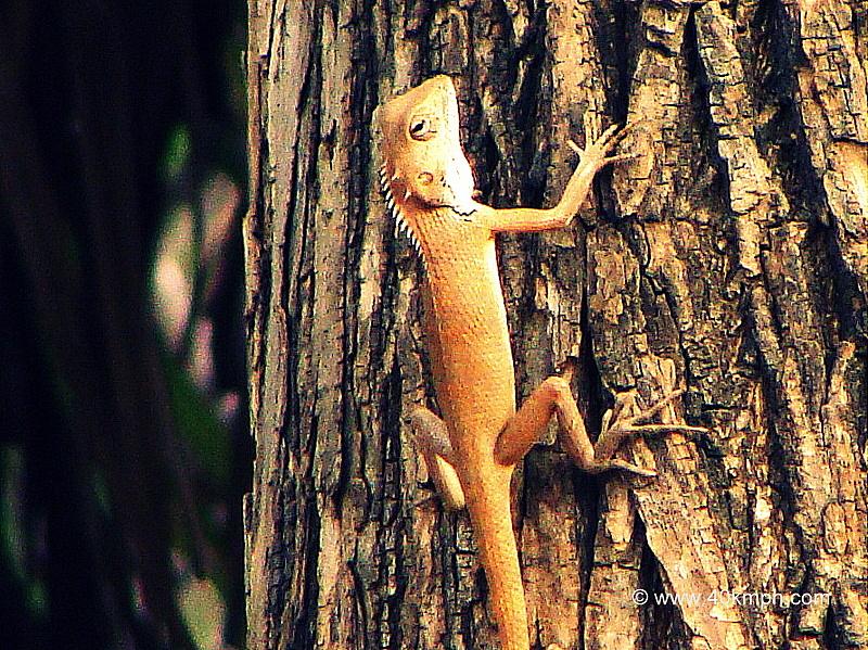 Garden Lizard Climbing Tree