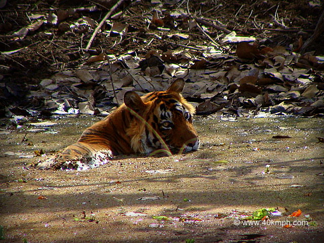 Tiger Resting in Pond, Ranthambhore National Park, Rajasthan