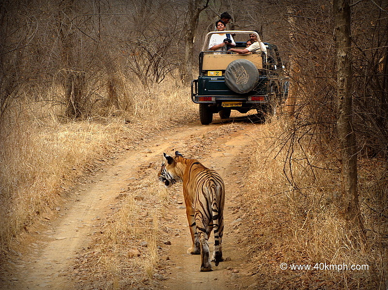 Tigress T39 of Ranthambhore National Park, Rajasthan