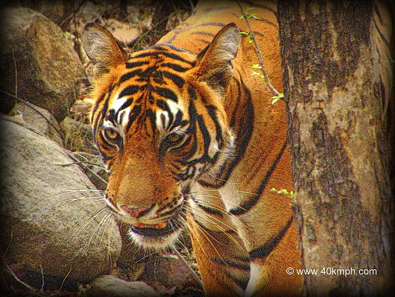 Tigress of Ranthambhore National Park, Rajasthan