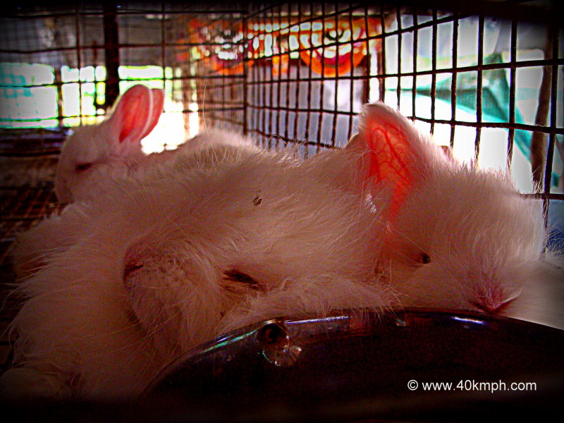 Rabbits Sleeping in Litter Box at Angora Rabbit Farm, Oriya, Mount Abu, Rajasthan