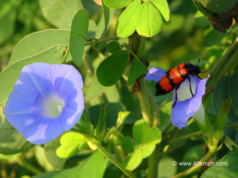 Oil Beetle on a Purple Flower