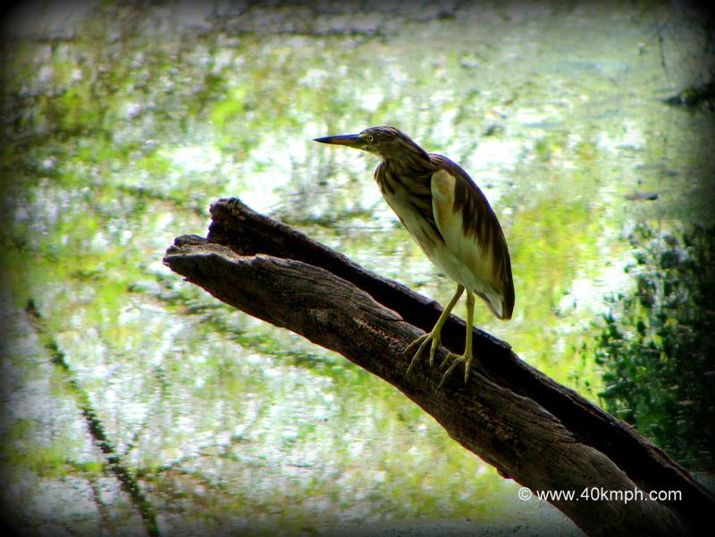Pond Heron on a Tree Stump