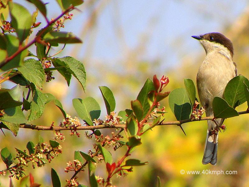 Bar-winged Flycatcher-shrike - Female