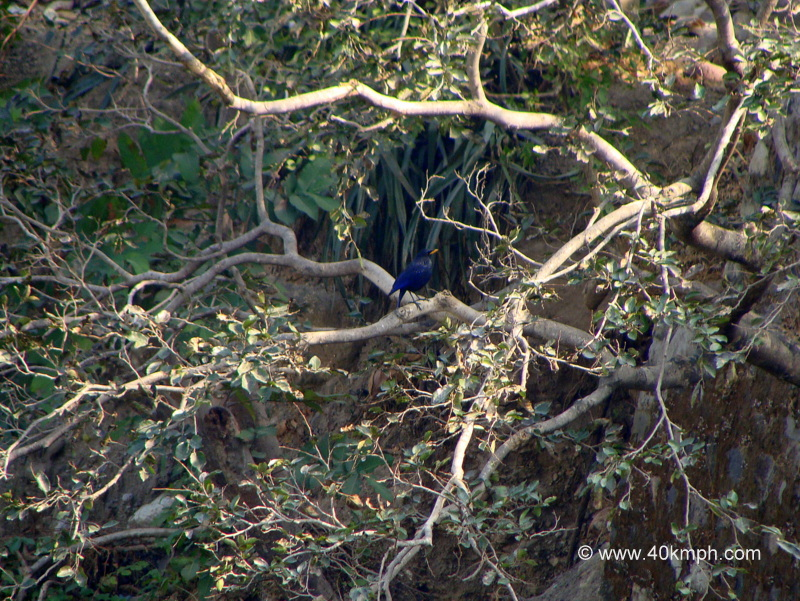 Blue Whistling Thrush