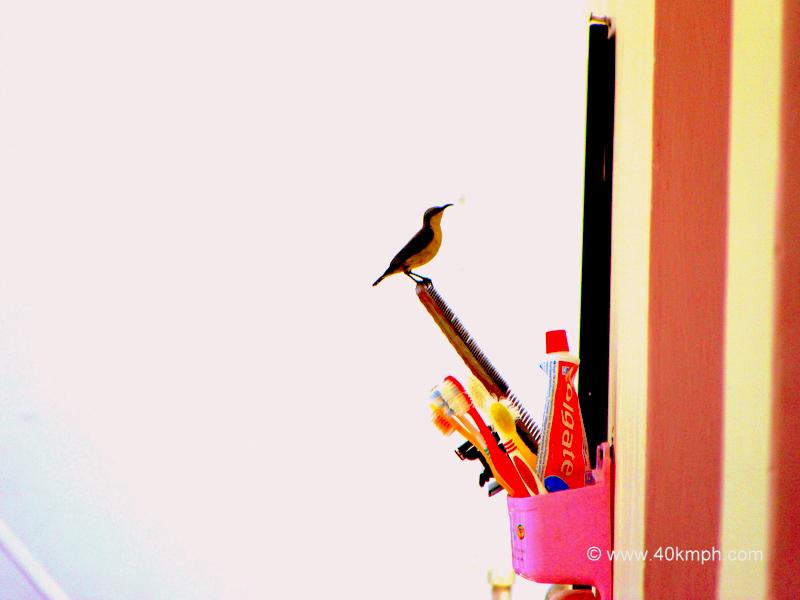 Crimson Sunbird - Female