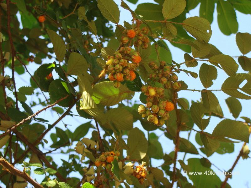 Hinsar Wild Berries