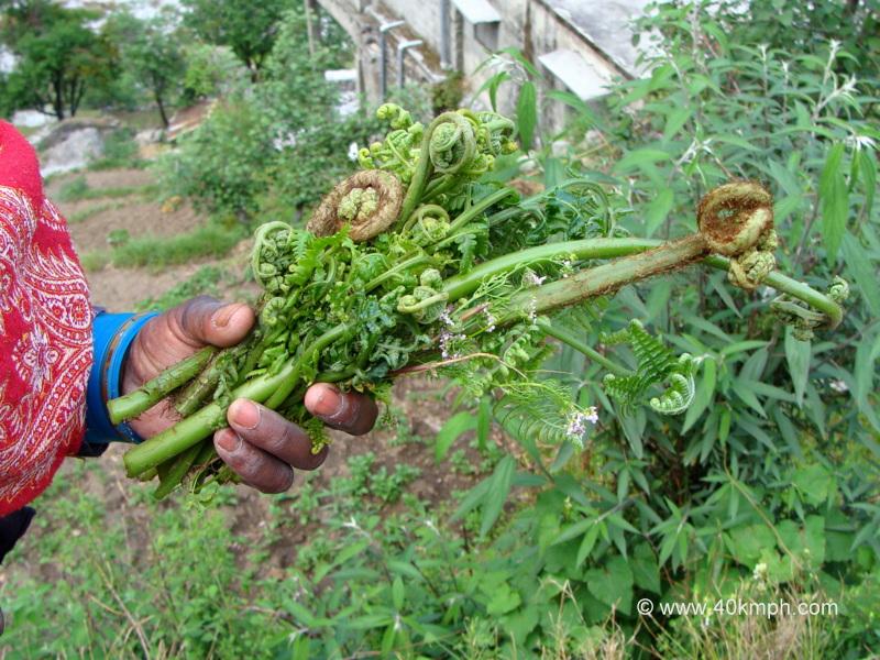 Lingda - Vegetable of Uttarakhand