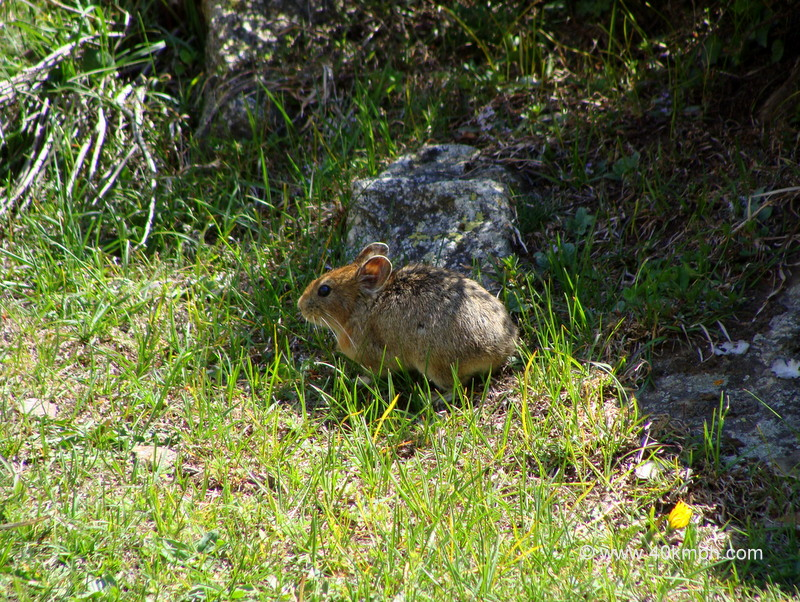 Mountain Mouse with No Tail