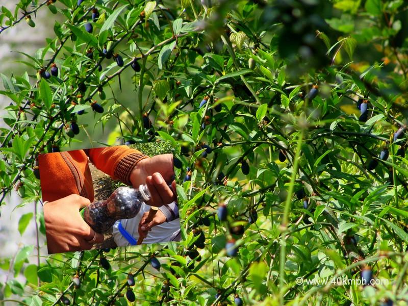 Tatela Shrub and Fruit