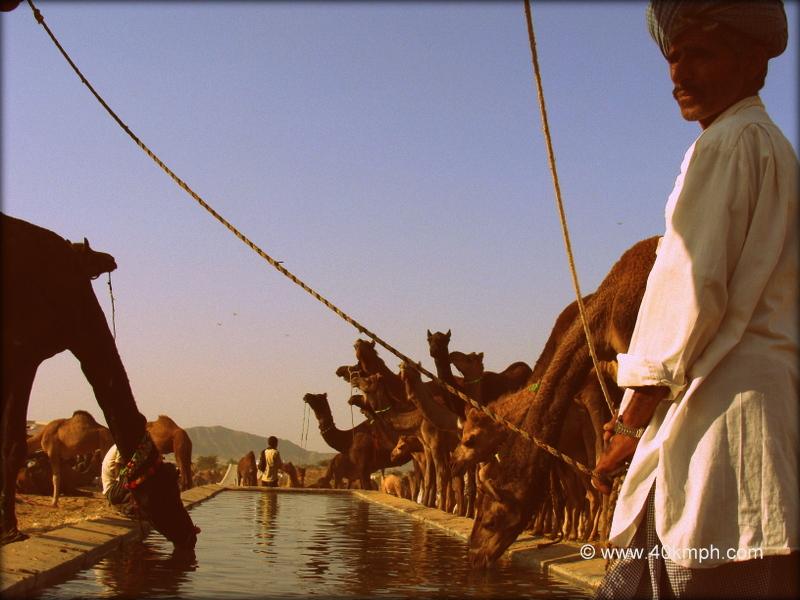 Camels Drinking Water, Pushkar Camel Fair 2011
