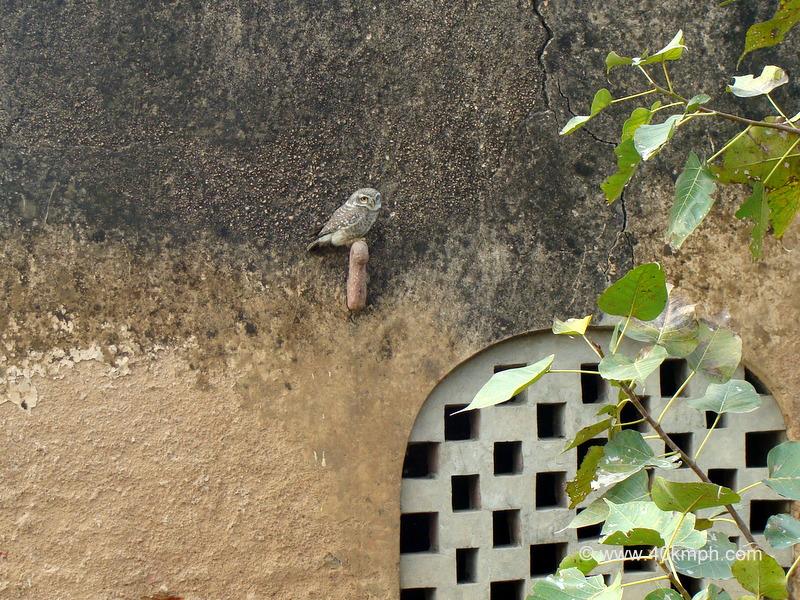 Owl Sitting on a Wall