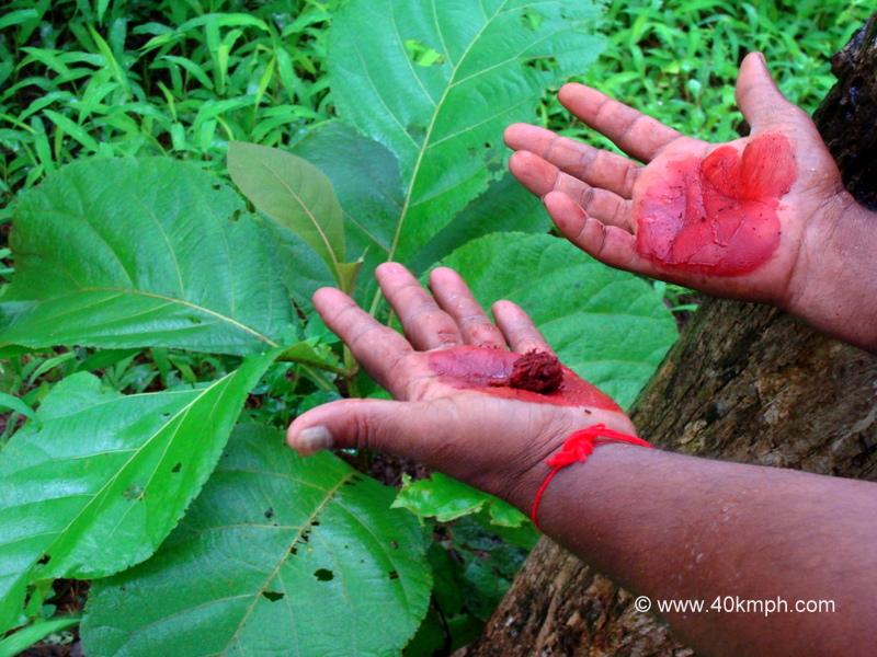 Teak Tree Leaves