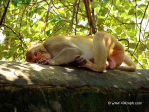 Monkey Resting on The Wall