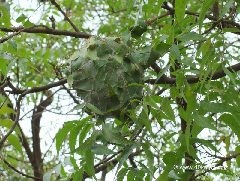 Weaver Ants Nest