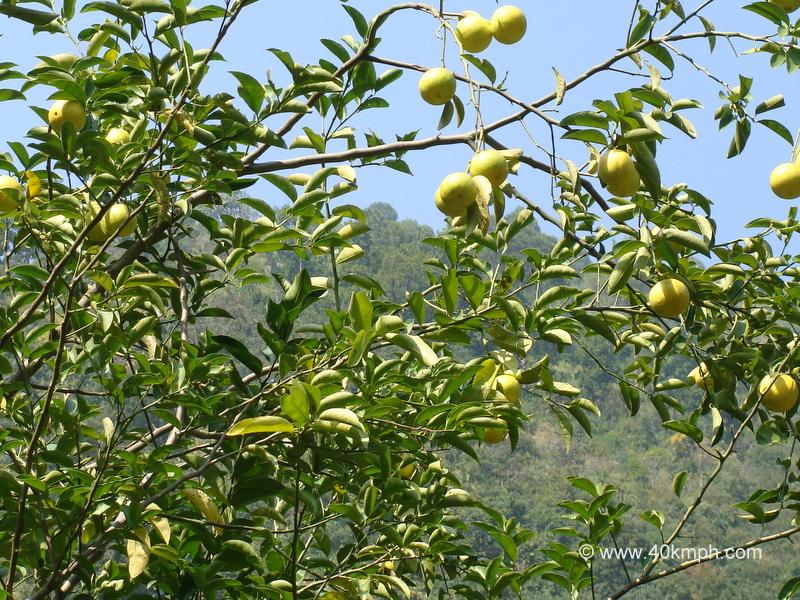 Sweet Lime (Mosambi) Tree