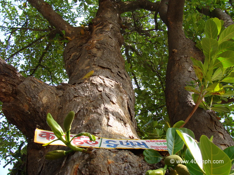250 plus Year Old Jackfruit Tree at Vashistha Ashram, Gaumukh, Mount Abu, Rajasthan