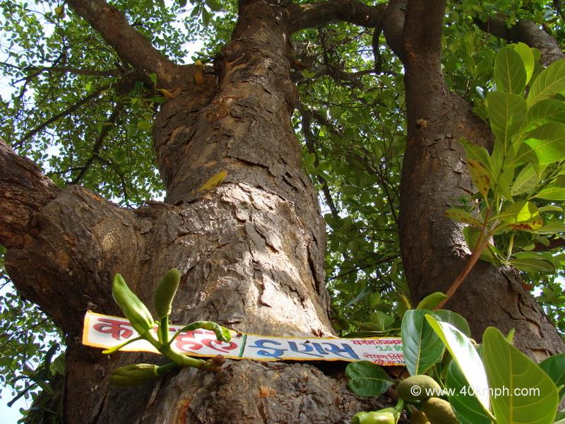 250 plus Year Old Jackfruit Tree at Vashistha Ashram, Gaumukh, Mount Abu, Rajasthan