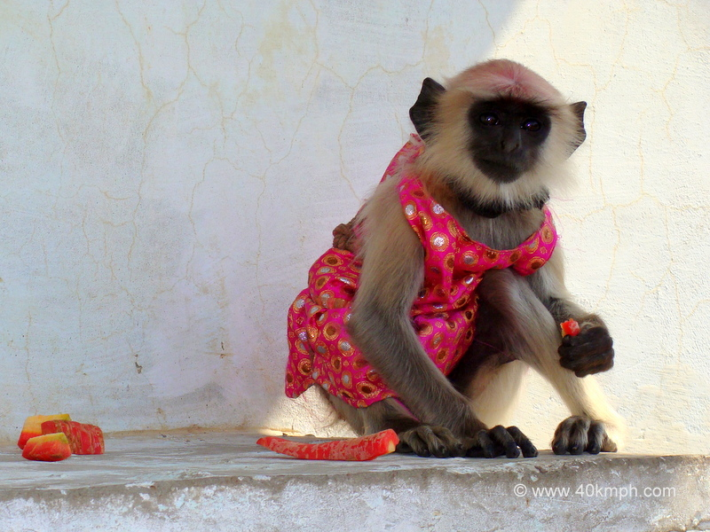 Baby Grey Langur in Clothes