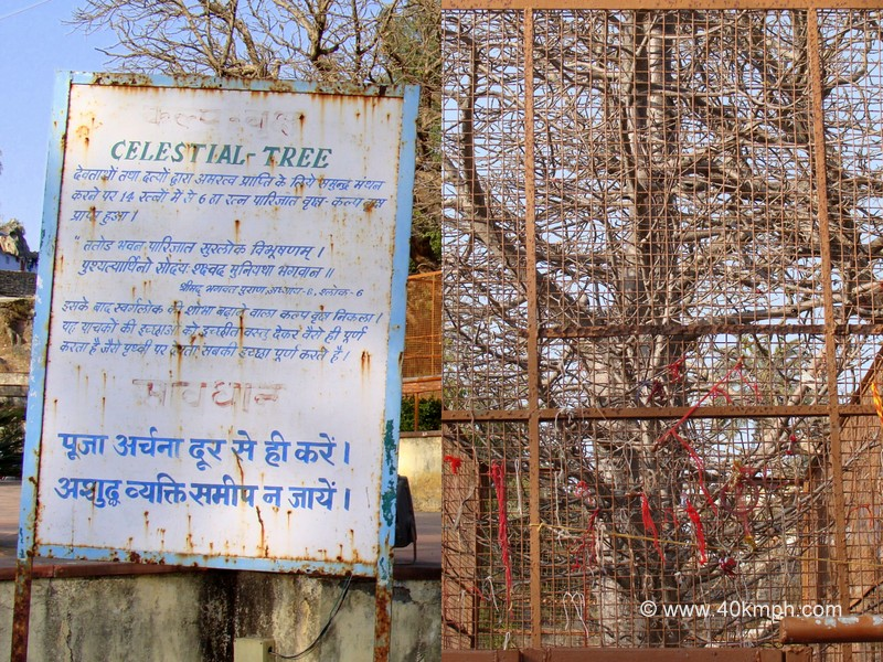 Celestial Tree (Kalpavriksha) at Dilwara Village, Mount Abu, Rajasthan