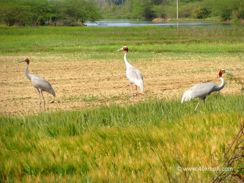 Sarus Crane - State Bird of Uttar Pradesh