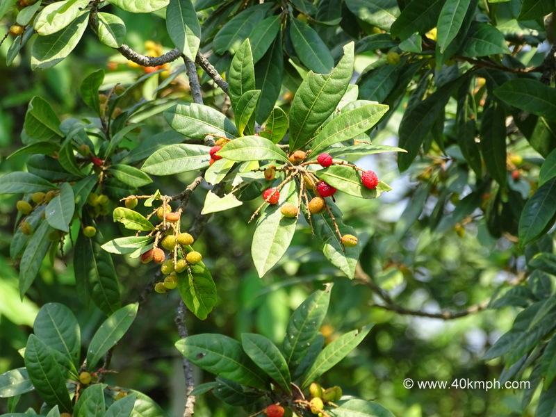 Kafal Fruit Tree