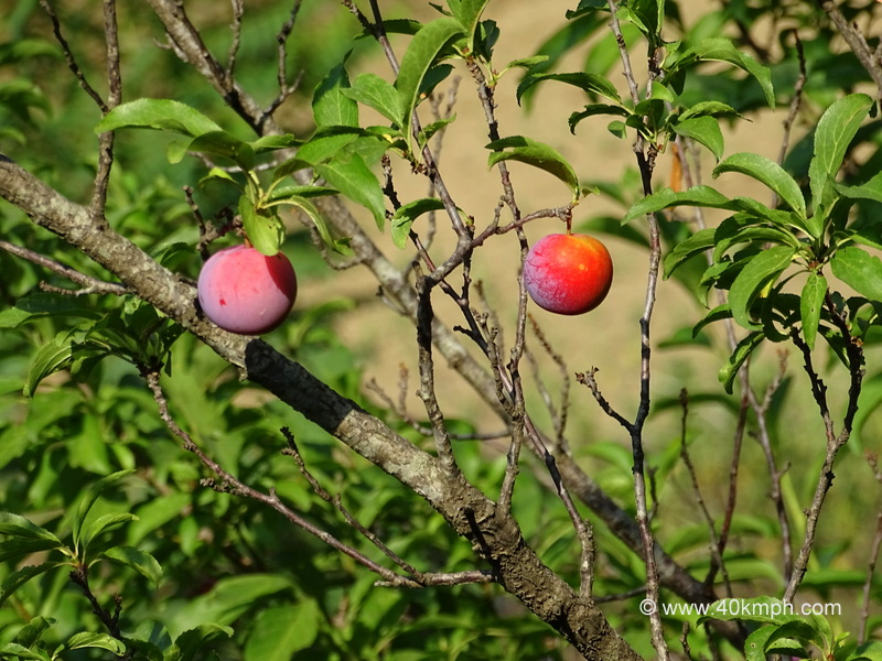Plum Fruit Tree