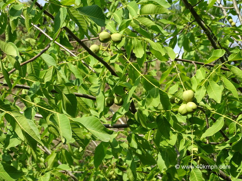 Walnut Fruit Tree