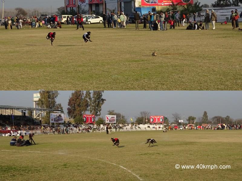 Dog Race at 79th Kila Raipur Sports Festival 2015 in Punjab