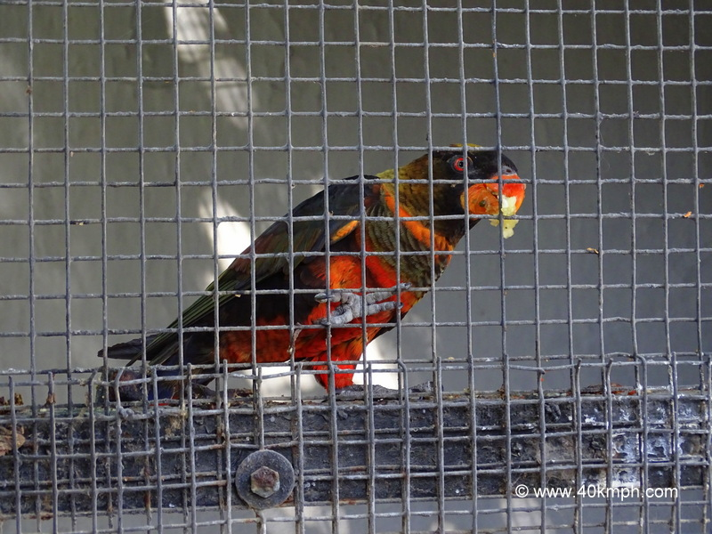 Dusky Lory at Sakkarbaug Zoo in Junagadh, Gujarat