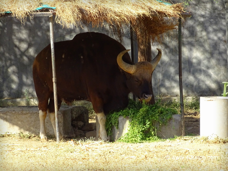 Indian Bison at Sakkarbaug Zoo in Junagadh, Gujarat