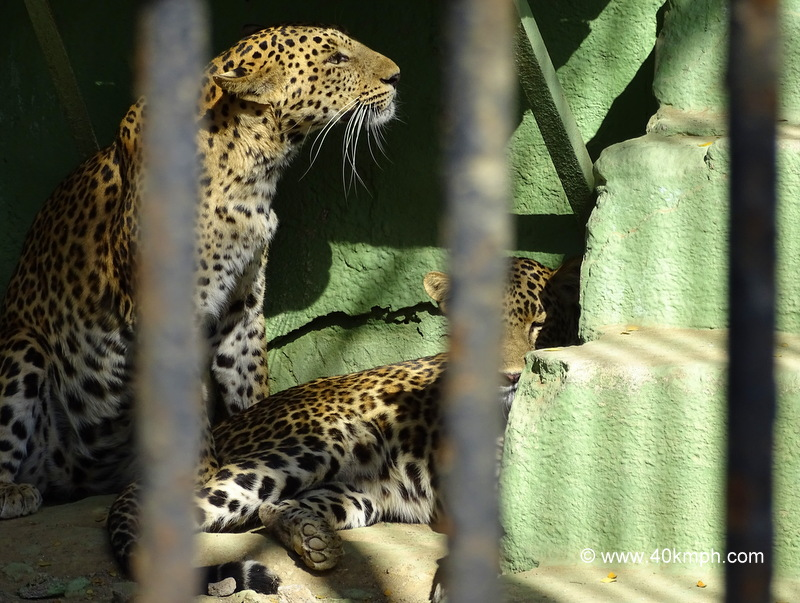 Leopards at Sakkarbaug Zoo in Junagadh, Gujarat