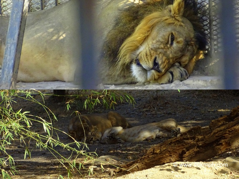 Lion and Lioness Resting at Sakkarbaug Zoo in Junagadh, Gujarat