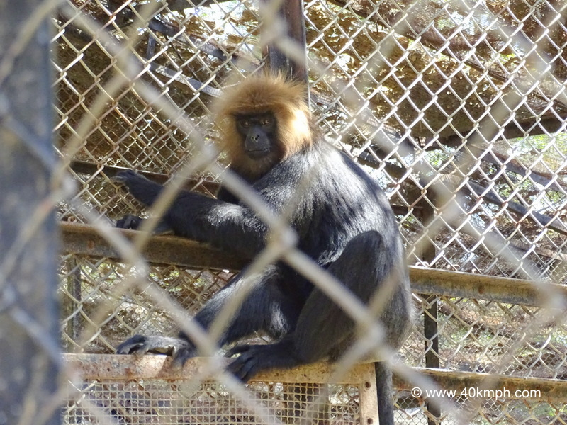 Nilgiri Langur at Sakkar Baug Zoo in Junagadh, Gujarat