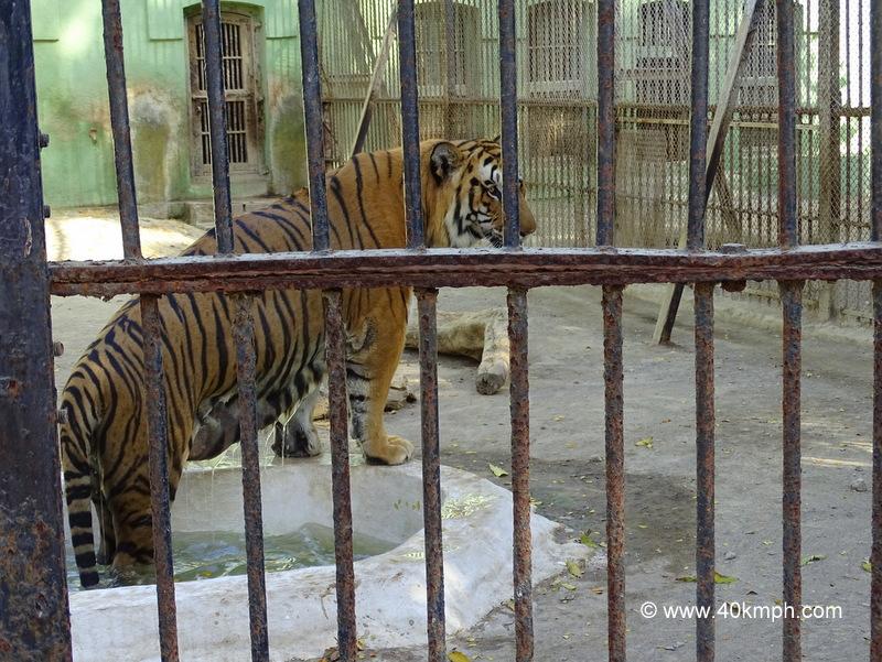 Royal Bengal Tiger in Pond at Sakkar Baug Zoo in Junagadh, Gujarat
