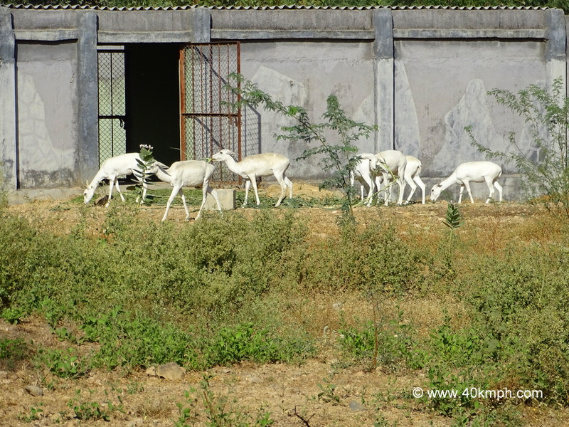 White Buck at Sakkar Baug Zoo in Junagadh, Gujarat