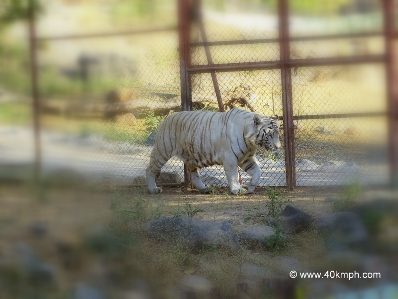 White Tiger at Sakkarbaug Zoo in Junagadh, Gujarat
