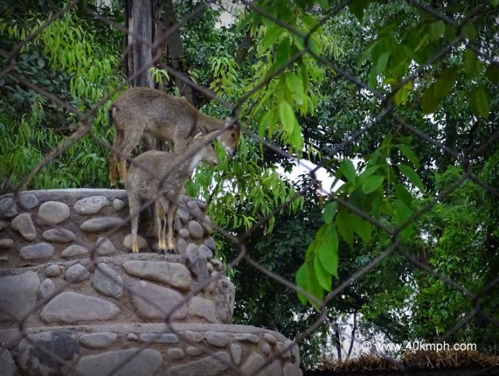 Goral at Chhatbir Zoo (Chandigarh-Patiala Road, Punjab)