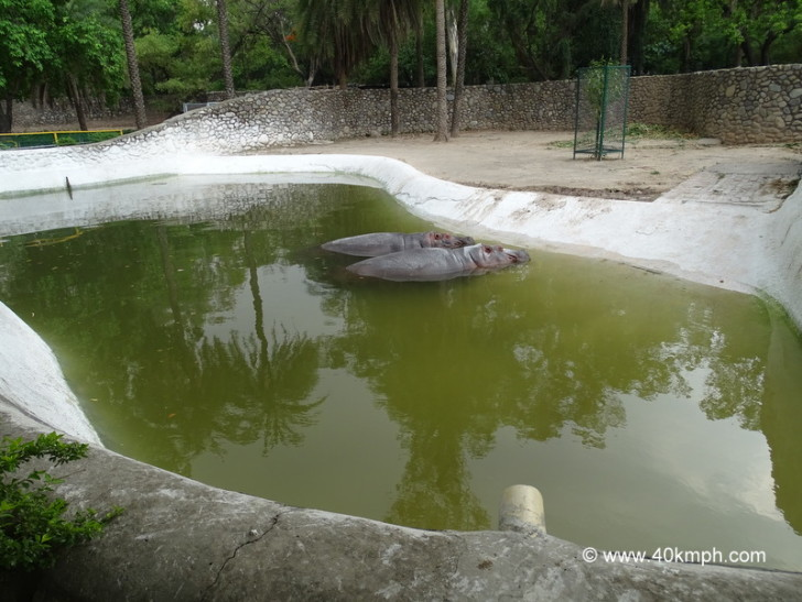 Hippopotamus at Chhatbir Zoo (Chandigarh-Patiala Road, Punjab)