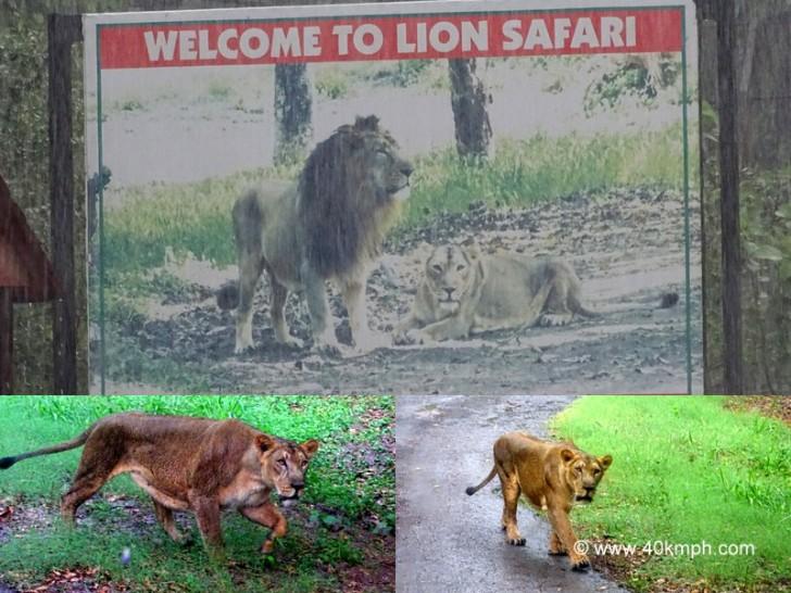 Lion Safari at Chhatbir Zoo, Chandigarh-Patiala Road, Punjab