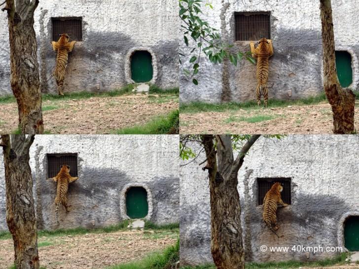 Royal Bengal Tiger Peeking through Window at Chhatbir Zoo (Chandigarh-Patiala Road, Punjab)