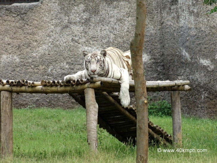 White Tiger Resting in Chhatbir Zoo (Chandigarh-Patiala Road, Punjab)