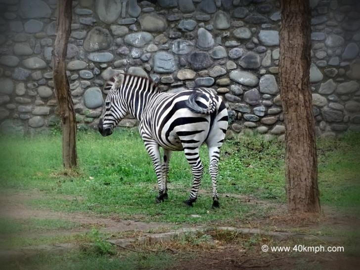 Zebra at Chhatbir Zoo (Chandigarh-Patiala Road, Punjab)