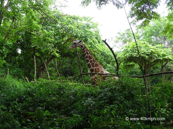 Giraffe at NANDANKANAN Zoological Park, Bhubaneshwar, Odisha