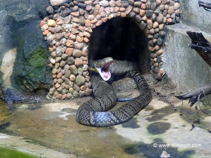 King Cobra at NANDANKANAN Zoological Park, Bhubaneshwar, Odisha